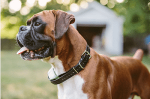 A Boxer needs a large PlexiDor dog door