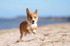 Welsh Corgi running