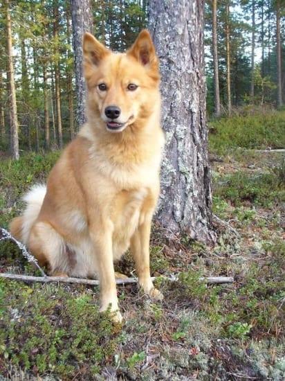 Finnish Spitz - Plexidor Medium Dog Door
