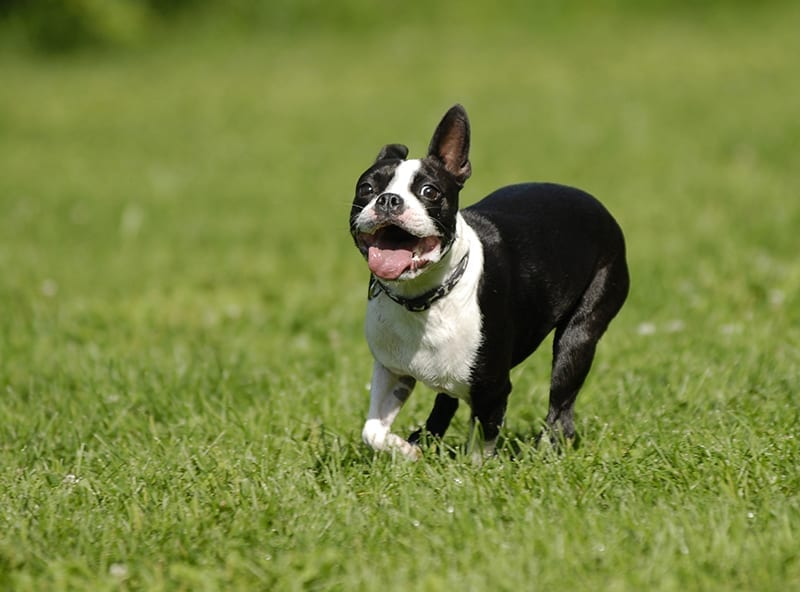 boston terrier average weight boston terrier 6674