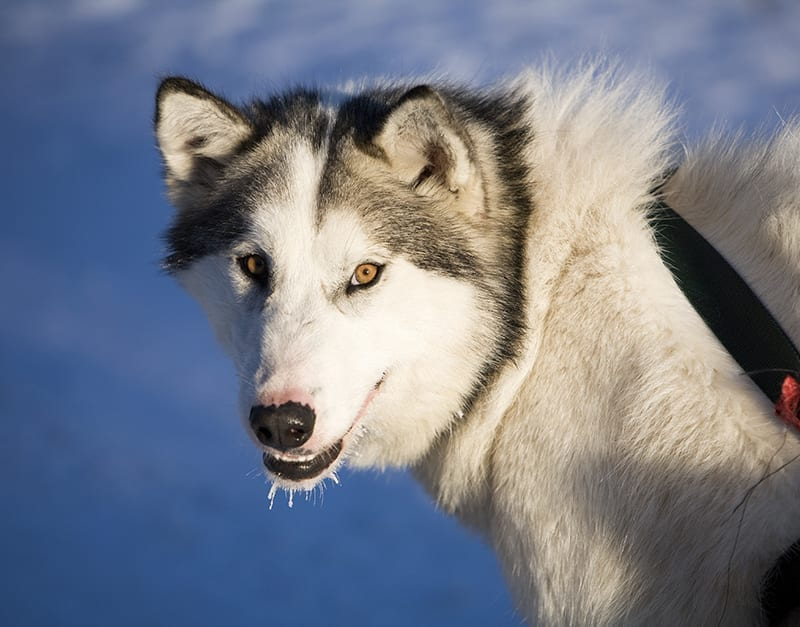 Canadian Eskimo Dogs require large or extra large Plexidor ...