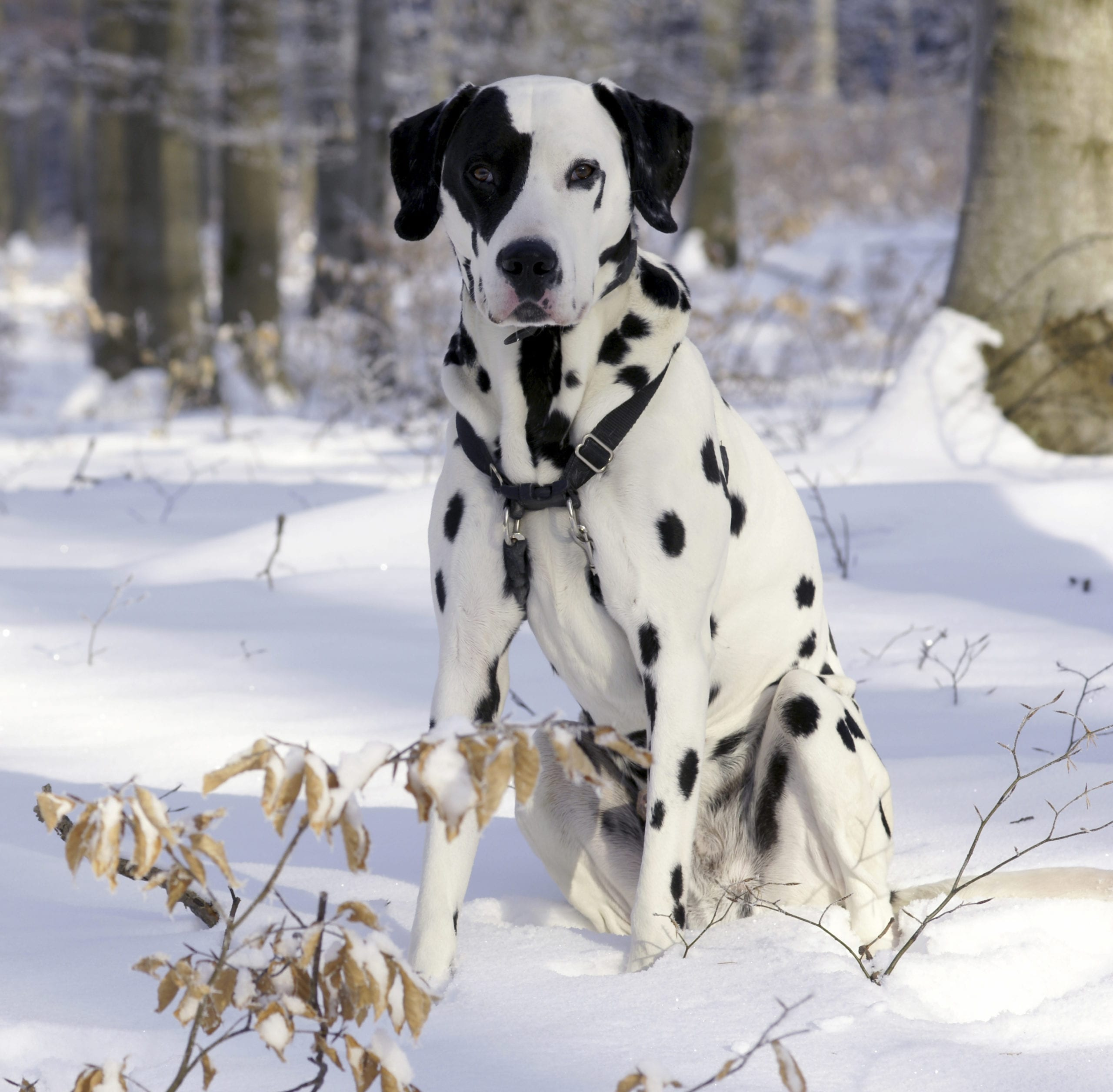 Dalmatian in the snow