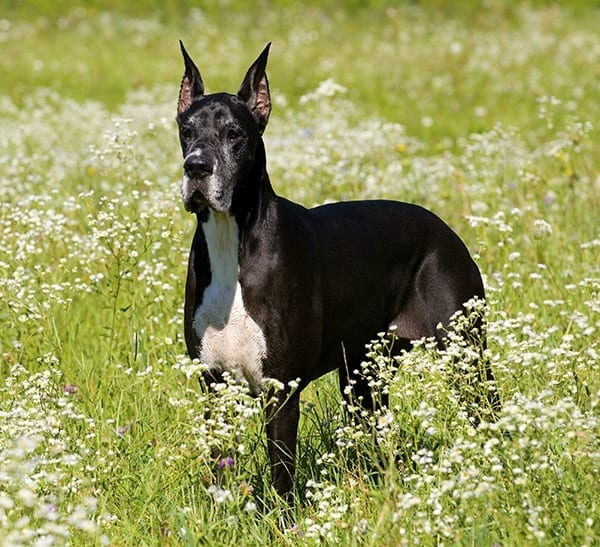 Five Of The Worlds Largest Dog Breeds