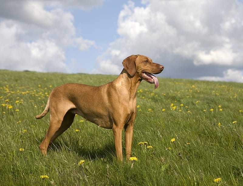 Vizsla A Hungarian Dog Breed That Requires A Large