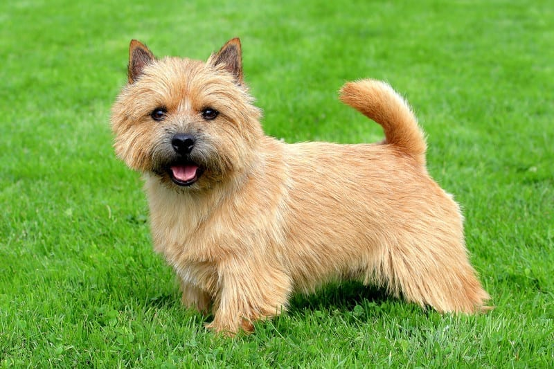 A Norwich Terrier needs a medium PlexiDor dog door