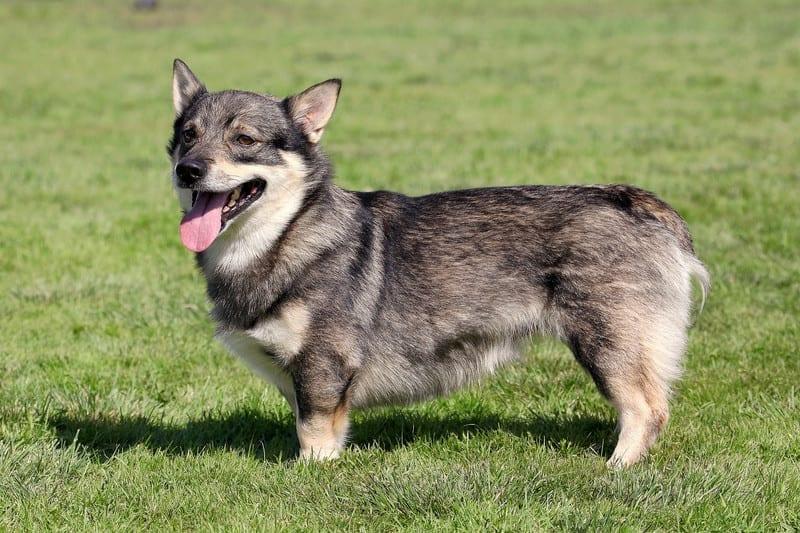 swedish vallhund hakkında genel bilgiler