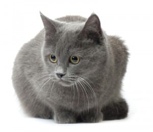Are There Hypoallergenic Cats