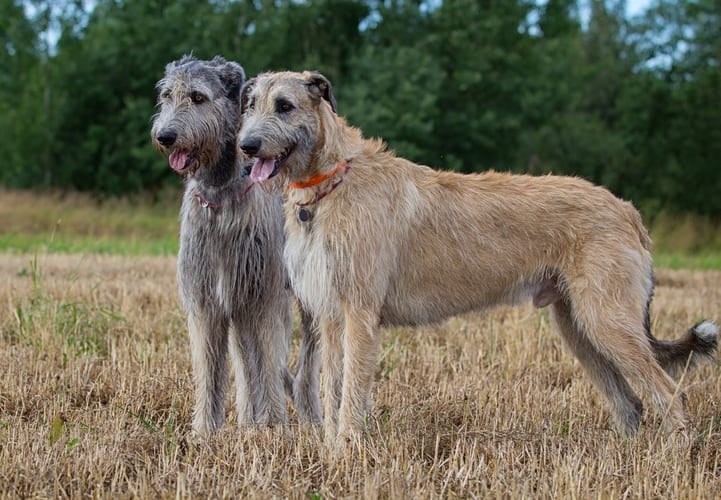 Five of the world's largest dog breeds