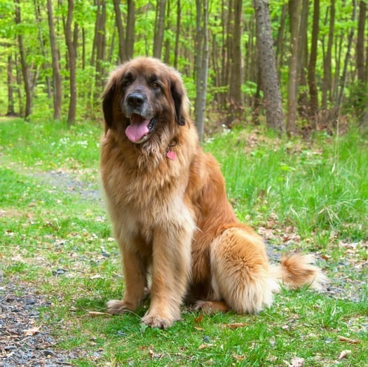 A Leonberger requires an extra large PlexiDor dog door.