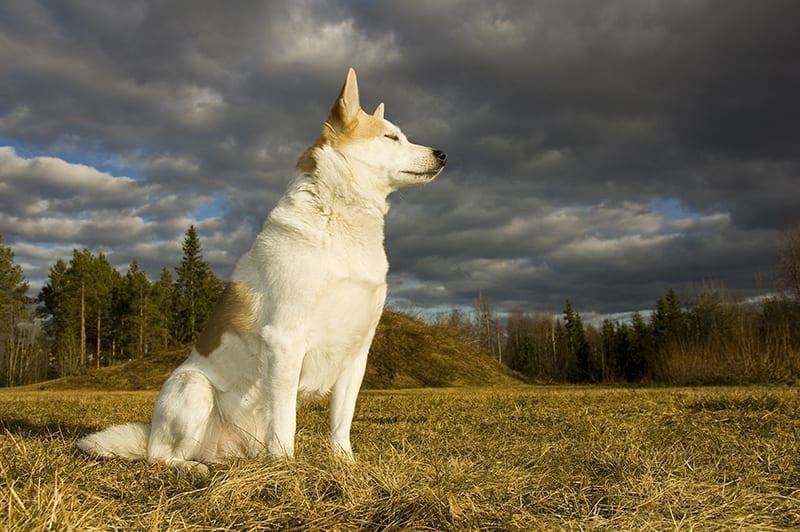 Norrbottenspets - Plexidor Medium Dog Door