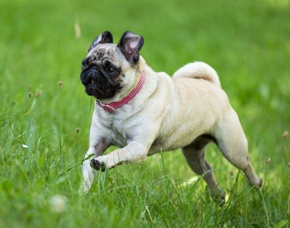 A Pug needs a medium PlexiDor dog door