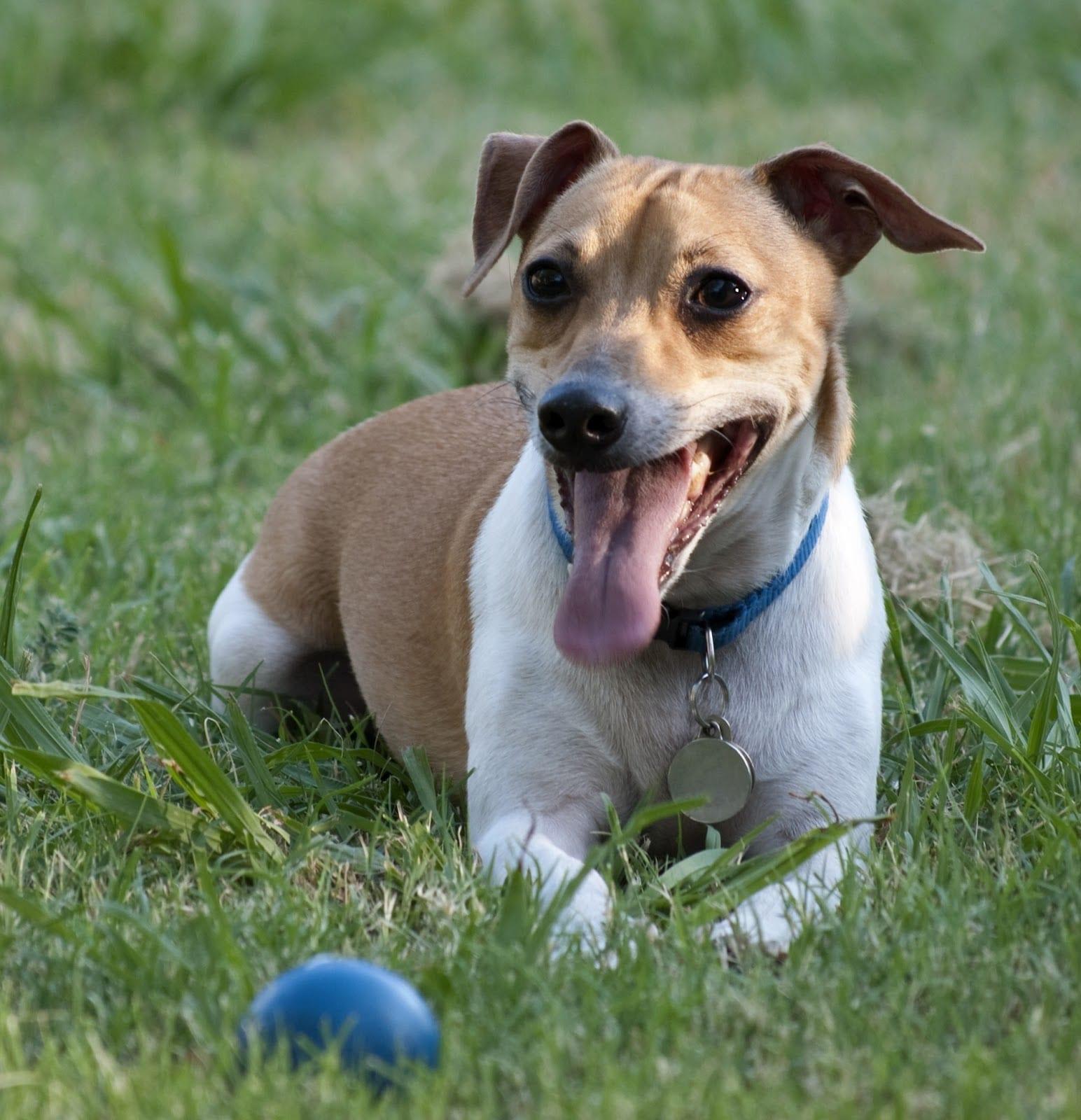 Rat Terrier -